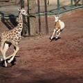 Photos: キリンの子供