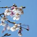 写真: 豆桜