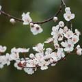 写真: スモモの花