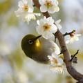 Photos: 梅に目白
