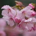 写真: 横浜緋桜