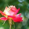写真: 冬の薔薇バラ