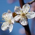 写真: プラムの花