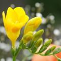 写真: 黄色いフリージア