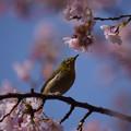 写真: 桜と目白