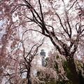 桜とマリンタワー