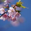 写真: 修善寺寒桜