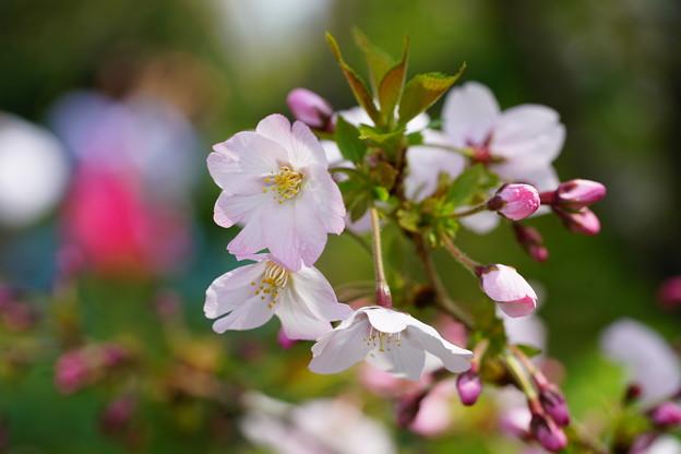 Photos: 御殿場桜