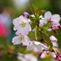 写真: 御殿場桜