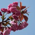 写真: 八重桜