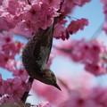 写真: 桜にヒヨドリ