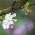 Photos: リンゴの花