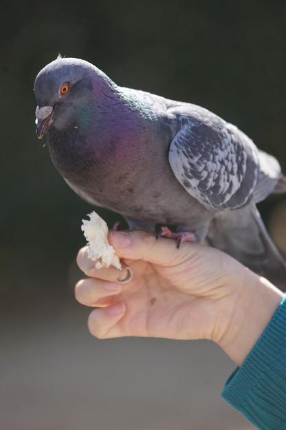 写真: 手乗り鳩