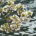 写真: 海辺の桜
