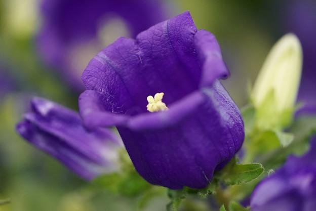 紫のカンパニュラ
