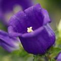 写真: 紫のカンパニュラ