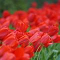 写真: 赤いチューリップ