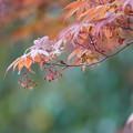写真: モミジの花