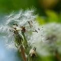 写真: タンポポの綿毛