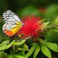 写真: 南国の蝶