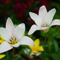 写真: 白いチューリップ