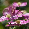 写真: ピンクのクレマチス