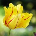 黄色いチューリップ