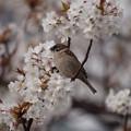 写真: 花見するスズメ
