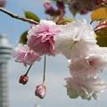 写真: 桜とマルンタワー