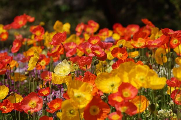 ポピーの花々