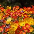 写真: ポピーの花々