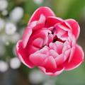 写真: チューリップ