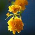 写真: 山吹の花