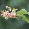 写真: 御衣黄桜