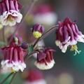 写真: オダマキの花