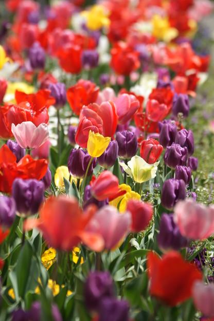 写真: チューリップの花々