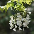 写真: 白い藤の花