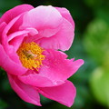 Photos: ピンクの芍薬