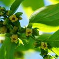 写真: 柿の花