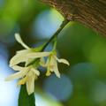 写真: ウンシュウ烏ミカンの花