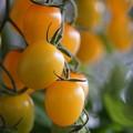 黄色いトマト
