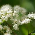 ガマズミの花