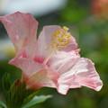 写真: 薄ピンクのハイビスカス