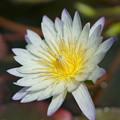 写真: 白い睡蓮