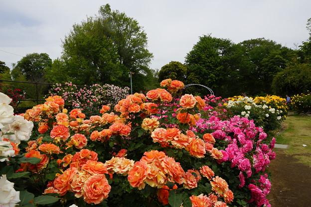 Photos: 春のバラ園
