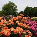 春のバラ園