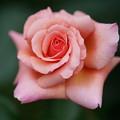 Photos: ピンクのバラ