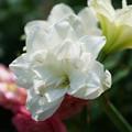 白いアマリリス