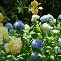 紫陽花と薔薇