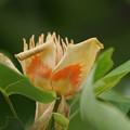 写真: ユリの花